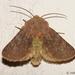 Metopoceras felicina - Photo (c) Valter Jacinto, todos los derechos reservados