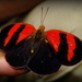 Red-striped Leafwing - Photo (c) edain_cuevas, all rights reserved, uploaded by Edain Cuevas