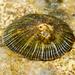 Siphonaria pectinata - Photo (c) Valter Jacinto, all rights reserved