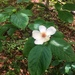 Mountain Camellia - Photo (c) Tara Rose Littlefield, all rights reserved
