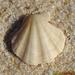 Flexopecten glaber - Photo (c) Valter Jacinto, todos los derechos reservados