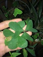 Oxalis latifolia image
