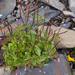 Epilobium anagallidifolium - Photo (c) Wendy Feltham, todos los derechos reservados