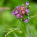 American Saw-Wort - Photo (c) Wendy Feltham, all rights reserved