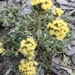 Pacific Alpine Wormwood - Photo (c) jeffreypeter, all rights reserved