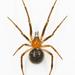 Arañas de Telaraña Irregular - Photo (c) kunag-ping_yu, todos los derechos reservados