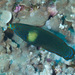Tubelip Wrasse - Photo (c) Mark Rosenstein, some rights reserved (CC BY-NC-SA)