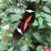 Heliconius clysonymus - Photo (c) pao17, todos los derechos reservados