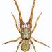 Borboropactus - Photo (c) kunag-ping_yu, todos los derechos reservados