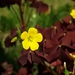 Oxalis stricta rufa - Photo (c) Sauli Yksjarvi, all rights reserved