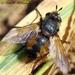 Tachina magnicornis - Photo (c) Valter Jacinto, todos los derechos reservados