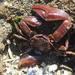 Flattop Crab - Photo (c) Wendy Feltham, all rights reserved