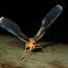 Zoraida pterophoroides - Photo (c) matthewkwan, todos los derechos reservados