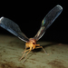 Zoraida pterophoroides - Photo (c) matthewkwan, all rights reserved