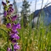 Rocky Mountain Penstemon - Photo (c) Davis Harder, all rights reserved
