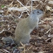 Franklin's Ground Squirrel - Photo (c) laplandlongspur, all rights reserved, uploaded by Michael Dawber