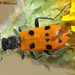 Trichodes octopunctatus - Photo (c) Valter Jacinto, todos os direitos reservados