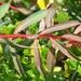 Euphorbia clementei - Photo (c) Valter Jacinto, todos los derechos reservados