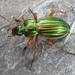 Golden Ground Beetle - Photo (c) nbnc, all rights reserved, uploaded by North Branch Nature Center
