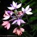Calanthe sylvatica - Photo (c) Po-Wei Chi, todos los derechos reservados