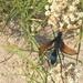 Milde's Tarantula Hawk - Photo (c) julianafan, all rights reserved