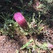 Anderson's Thistle - Photo (c) dirtydevin18, all rights reserved