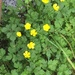 Creeping Buttercup - Photo (c) Jenny Zimmermann, all rights reserved
