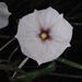 Lycianthes rzedowskii - Photo (c) guadalupe_cornejo_tenorio, todos los derechos reservados