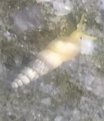 Subulina octona image