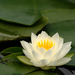 Water-lily Family - Photo (c) godricvt, all rights reserved, uploaded by Joshua Phillips