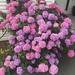 Hortensia Japonesa - Photo (c) Ale Zubi, todos los derechos reservados