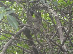 Bradypus variegatus image