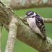 Downy Woodpecker - Photo (c) Jessica Weinberg McClosky, all rights reserved