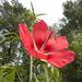 Hibiscus coccineus - Photo (c) Chris Goforth, όλα τα δικαιώματα διατηρούνται