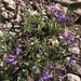 Penstemon montanus idahoensis - Photo (c) penelopev, todos los derechos reservados