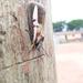 Aegocera rectilinea - Photo (c) Kwame Asante, todos los derechos reservados