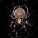 Araneus ventricosus - Photo (c) matthewkwan, todos los derechos reservados