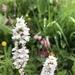 Alpine Bistort - Photo (c) kalip, all rights reserved