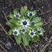 Eryngium carlinae - Photo (c) Anne, all rights reserved