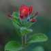 Castilleja scorzonerifolia - Photo (c) Anne, כל הזכויות שמורות