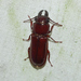 Pole Borer - Photo (c) meenaharibal, all rights reserved