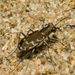 Bronze Tiger Beetle - Photo (c) treichard, all rights reserved, uploaded by Timothy Reichard