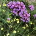 Purpletop Vervain - Photo (c) katieavocado, all rights reserved
