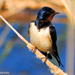White-bellied Barn Swallow - Photo (c) Valter Jacinto, all rights reserved
