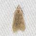 Dichomeris punctidiscellus - Photo (c) Timothy Reichard, todos los derechos reservados