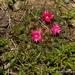 Mammillaria wiesingeri - Photo (c) Juan Carlos Garcia Morales, all rights reserved