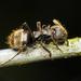 Dolichoderus bispinosus - Photo (c) Daniel Vélez, todos los derechos reservados