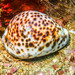Tiger Cowry - Photo (c) Lesley Clements, all rights reserved