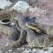 Cobra-d'Água-Do-Norte - Photo (c) Ryan Wolfe, todos os direitos reservados