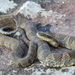 Common Watersnake - Photo (c) Ryan Wolfe, all rights reserved